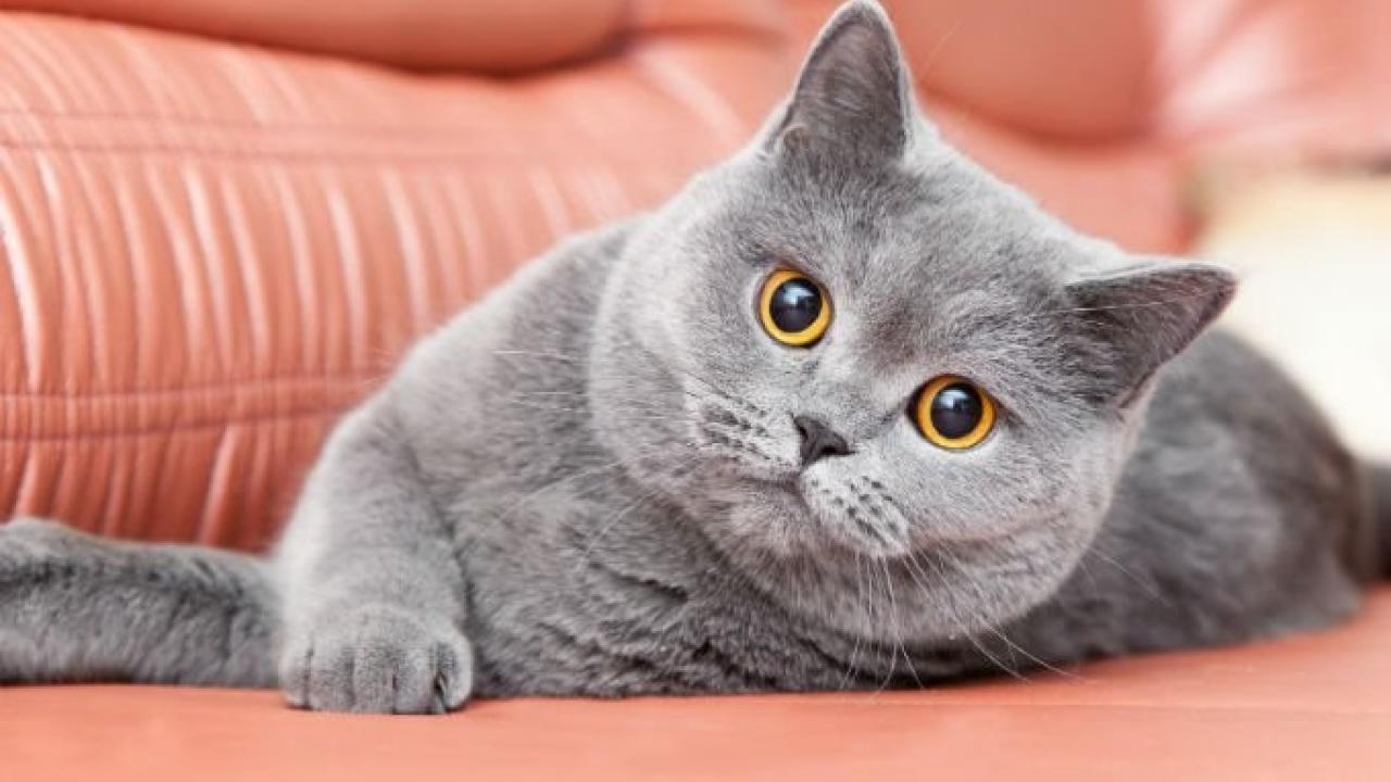 5d173cfe1a87 Οι 10+1 πιο ακριβές γάτες σε όλο τον πλανήτη