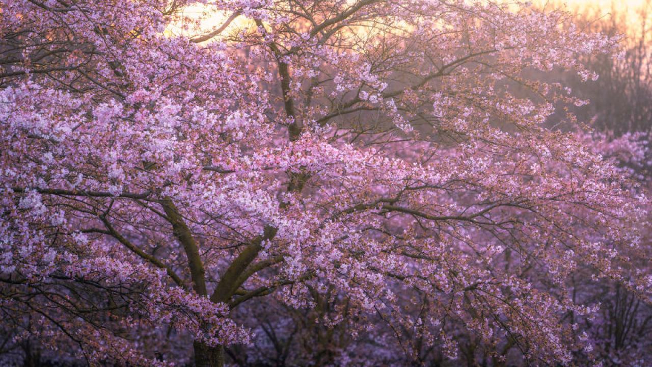Οι πανέμορφες κερασιές άνθισαν και στην Ολλανδία (εικόνα) | Το ...